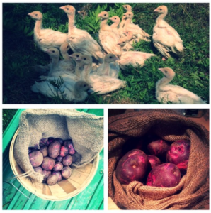 butchies-organic-farm-chickens_taters