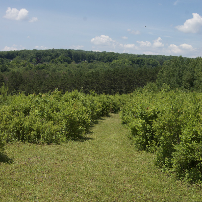 17 acres of blueberries at Bleuet Hill Farm in Deposit, NY